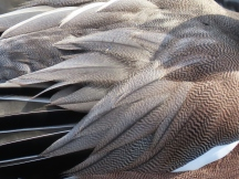 Widgeon detail