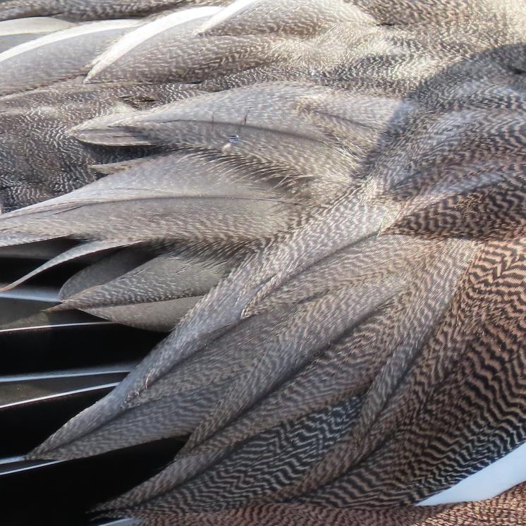 Widgeon detail