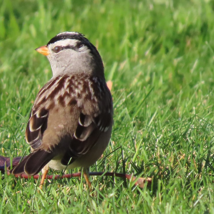 White Crowned Sparrow.parrow.